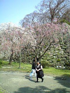 福岡城の桜