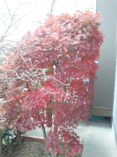 庭の紅葉が