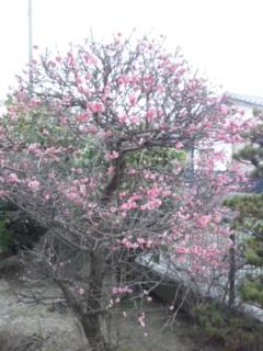 今朝の梅は