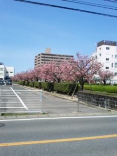 こういう桜も