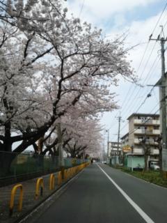 春爛漫の花の下