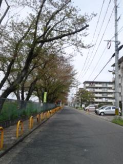 本日の桜並木
