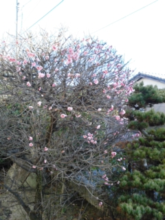 梅の花は…
