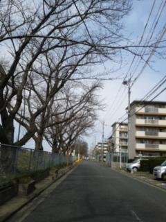 今日の桜並木です