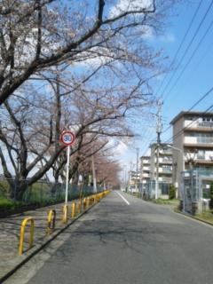 桜並木を…