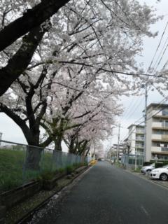 満開の桜並木だけど…