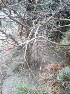 庭の梅です