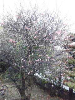今日の梅です