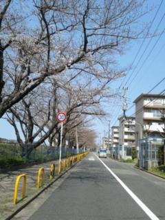 本日の桜並木は