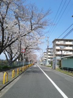 今日の桜並木の状態