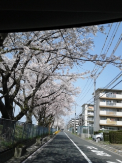 本日の桜並木です