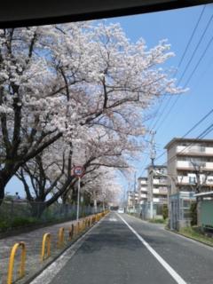 今日の桜並木の様子です